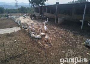 生态肉鹅养殖场