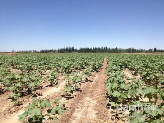 新疆喀什交通便利10000亩肥沃良田有机农业超低价转让-图(3)
