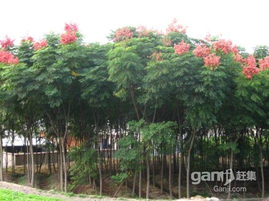 优价转让或出租50亩成熟经济林-图(1)
