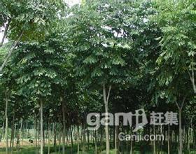 优价转让或出租50亩成熟经济林-图(2)
