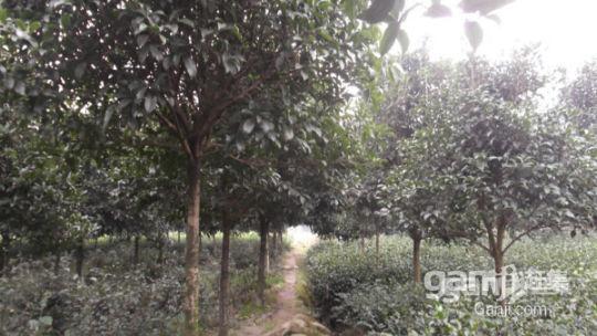 优价转让或出租50亩成熟经济林-图(3)