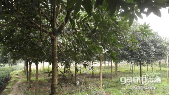 优价转让或出租50亩成熟经济林-图(4)