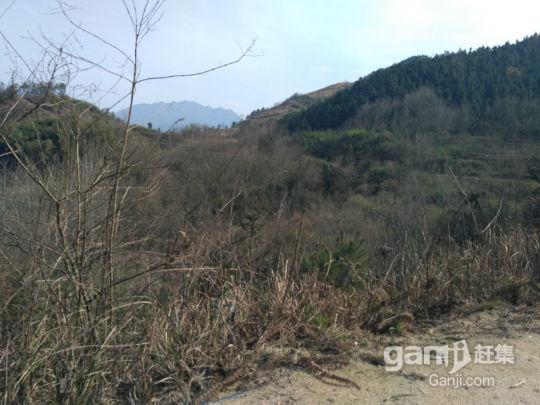300亩优质山场出租-图(2)
