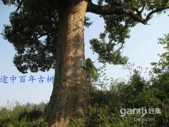 泾县茂林两块野生百年茶叶地出租-图(1)