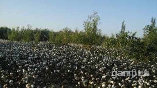 托克逊县30亩地转让(其中20亩地成熟枣林)-图(1)