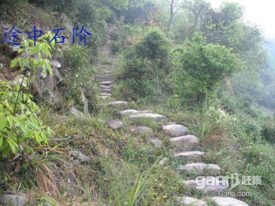泾县茂林两块野生百年茶叶地出租-图(3)