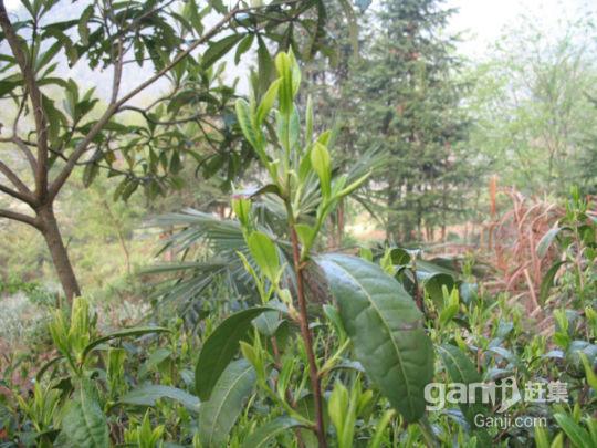 超低价出租安徽省宣城市泾县茂林镇40亩优质茶园-图(5)