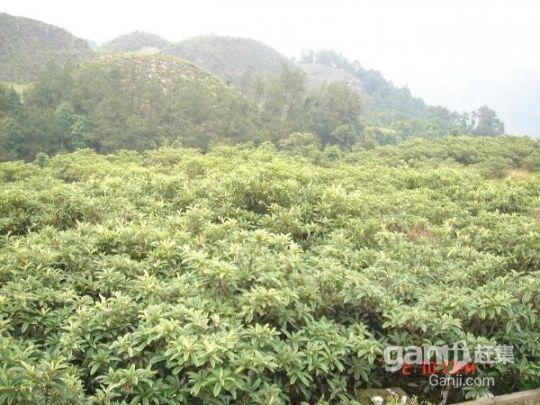 出售成熟精品枇杷果园-图(2)