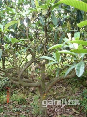 出售成熟精品枇杷果园-图(4)
