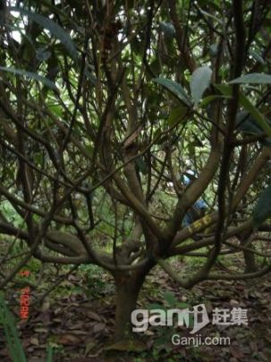 出售成熟精品枇杷果园-图(6)