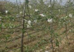 (转让) 40亩矮化苹果园急转