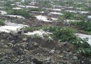 硒沙瓜自水灌溉沙地出售