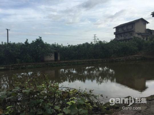 武胜县100亩柚子园招租或合作-图(2)