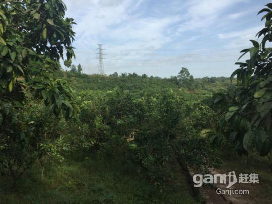 武胜县100亩柚子园招租或合作-图(3)