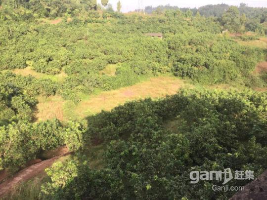 武胜县100亩柚子园招租或合作-图(5)