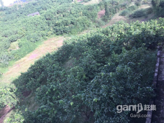 武胜县100亩柚子园招租或合作-图(6)