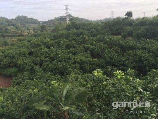 武胜县100亩柚子园招租或合作-图(7)