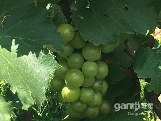 对外承包葡萄采摘园-图(1)