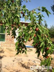 优质果园,因本人车祸重伤无法继续料理,现含泪低价转租-图(4)