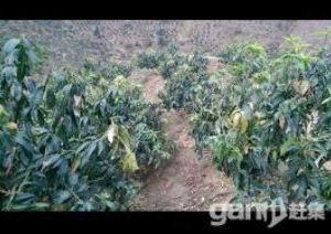 买独栋别墅,送15亩有700棵芒果树的土地