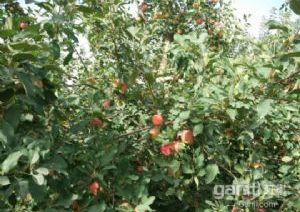六团30亩优质苹果园出售
