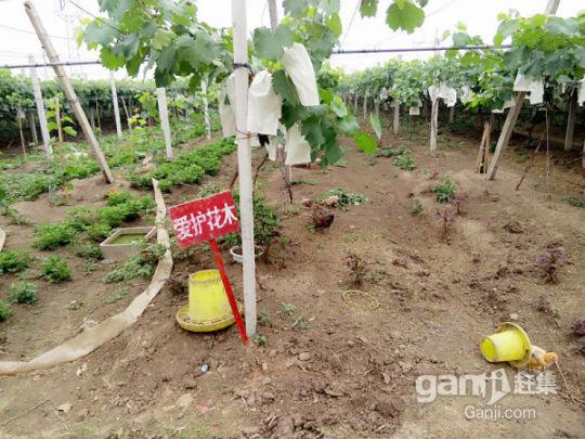 转让淮南农场葡萄园,树龄3年,品种多样化,还盖了住房-图(3)