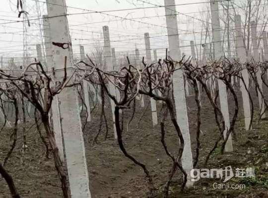 转让淮南农场葡萄园,树龄3年,品种多样化,还盖了住房-图(5)
