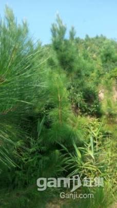 650亩山场低价转让,已经种下松树3年-图(1)