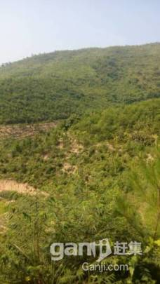 650亩山场低价转让,已经种下松树3年-图(2)