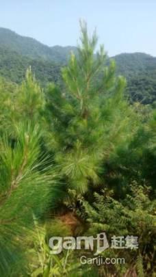 650亩山场低价转让,已经种下松树3年-图(4)