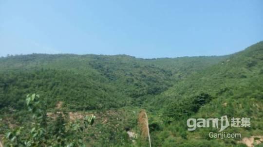 650亩山场低价转让,已经种下松树3年-图(5)