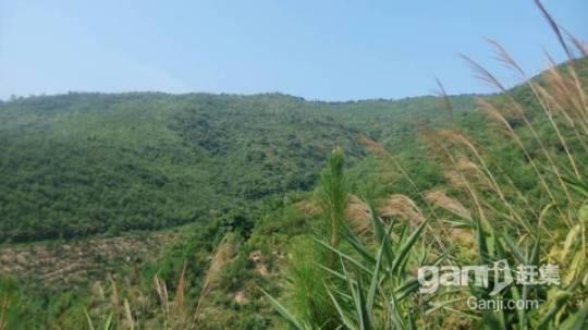 650亩山场低价转让,已经种下松树3年-图(6)