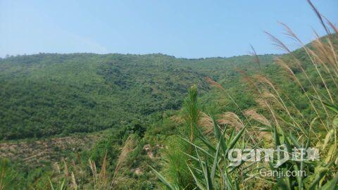 650亩山场低价转让,已经种下松树3年-图(8)