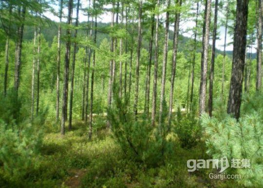 松树林出售和合作-图(2)