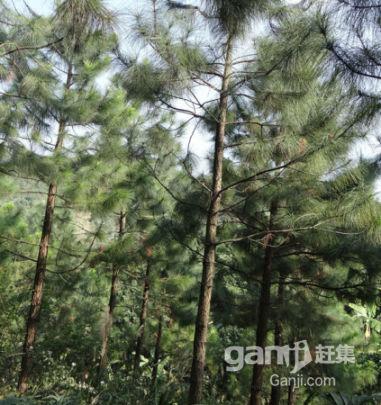 松树林出售和合作-图(4)