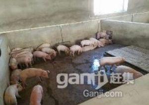 育肥猪养殖场