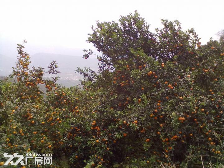 从化温泉中田约50亩山地果园农场整体永久转让-图(1)