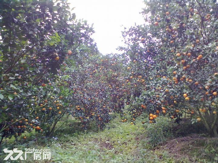 从化温泉中田约50亩山地果园农场整体永久转让-图(7)