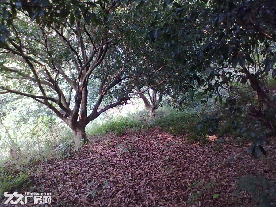 从化城郊城康电站附近9亩果园永久转让-图(4)